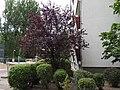 2019-07-05 2-15 B Crataegus laevigata 1.jpg