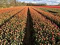20210507 tulpenvelden3 in Balloo.jpeg