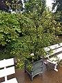 20210731 Hortus botanicus Leiden - Plumbago auriculata.jpg