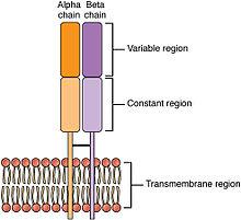 erythrogenic toxin medical definition reductil pret 2020