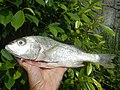 3769Common houseflies on fish of the Philippines 06.jpg