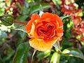 4487 - Bern - Rosengarten - Rose.JPG
