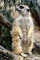50 Jahre Knie's Kinderzoo (1962-2012) - Suricata suricatta (Erdmännchen) 2012-10-03 16-23-53.JPG