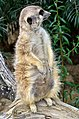 50 Jahre Knie's Kinderzoo - Suricata suricatta (Erdmännchen) 2012-10-03 16-24-54.JPG