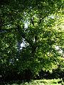617683 A 683 Krakow Krzesławice Wankowicza 25 park w zespole dworsko parkowym 44.JPG