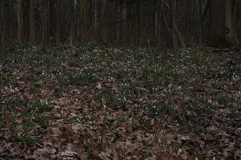 File:68-227-5011 підсніжники - травянистий покрив у Красилівському заказнику.JPG