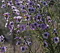 769 18-Cyanostegia angustifolia-1.jpg