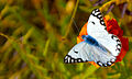 A Butterfly on a flower (8236570637).jpg