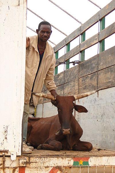 File:A Load of Bull - Dori - Sahel Region - Burkina Faso.jpg