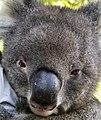 A beautiful Face Australia Zoo-2 (9130875128).jpg