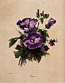 A bunch of flowering mallows and pansies. Coloured lithograp Wellcome V0044593.jpg