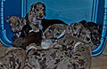 A dozen Great Dane Puppies need forever homes..jpg