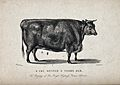 A fat, 3 year old heifer. Etching by T. Hatton after W.H. Da Wellcome V0021653.jpg