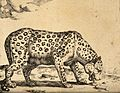 A leopard licking at bones on the ground. Engraving by M De Wellcome V0021497.jpg