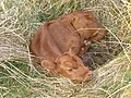 A new-born calf - geograph.org.uk - 168100.jpg