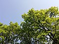 A tree in a Milan park on a sunny day.jpg