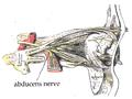 Abducens nerve1.png