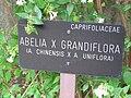 Abelia x grandiflora 00.jpg