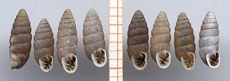 Abida secale - Eight shells of Abida secale  scale bar in mm