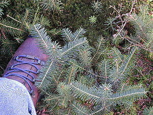 Fraser fir - Seedlings of Fraser fir (blue-green, longer needles) and red spruce (green, shorter needles)
