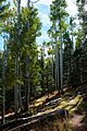 Abineau Trail is a steep 1,800 foot climb over two miles up the slopes of the San Francisco Peaks through Abineau Canyon. The trail meets the Waterline Trail at the top, which can be followed down to (21437887393).jpg