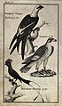 Above, a Swallow Tailed Falcon, middle, a Lanner, below, a M Wellcome V0020462.jpg