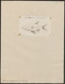 Abramis americanus - 1798-1876 - Print - Iconographia Zoologica - Special Collections University of Amsterdam - UBA01 IZ15000135.tif