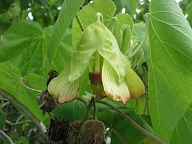 Abutilon sandwicense (5113341868).jpg