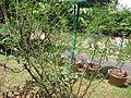 Acacia catechu - കരിങ്ങാലി 01.JPG