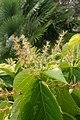 Acalypha wilkesiana kz2.jpg