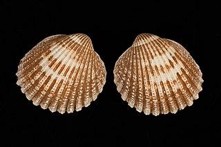 <i>Acanthocardia echinata</i> Species of bivalve