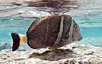 Acanthurus guttatus by NPS