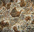 Acarospora strigata - Flickr - pellaea (5).jpg
