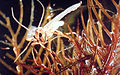 Acentria ephemerella 0002003.jpg