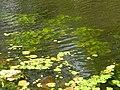 Acharya Jagadish Chandra Bose Indian Botanic Garden - Howrah 2011-03-20 2023.JPG