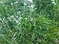 Achillea millefolium 1 - Putney Heath Common 2011.08.02.jpg