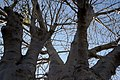 Adansonia digitata 19zz.jpg
