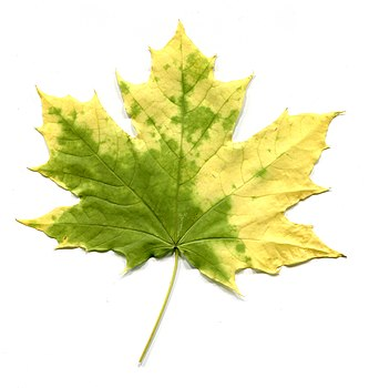 Adaxial side. Acer leaves in autumn.jpg