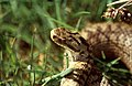 Adder (Vipera berus) female (42573320040).jpg
