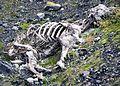 Adventdalen reindeer cadaver IMG 2806.jpg