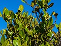 Aegiceras corniculatum flower buds Nudgee Creek Nudgee Beach Bramble Bay Queensland P1040501.jpg