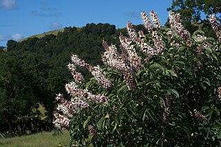 <i>Aesculus californica</i> Species of plant