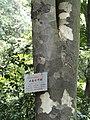 Aesculus wangii - Kunming Botanical Garden - DSC02927.JPG