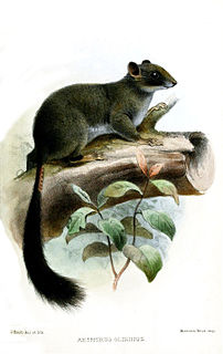 Cameroon scaly-tail species of mammal