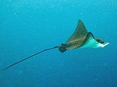 Eagle ray (Aetobatus narinari)