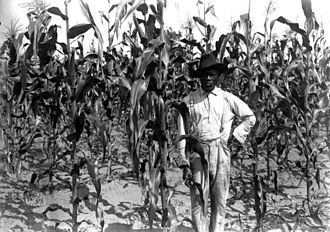 African-American history of agriculture in the United States - Image: African American farmer in corn field, Alachua County, Florida
