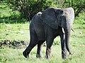 African Elephant (3076242626).jpg