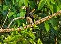 African Pied Hornbill - Kakum NP - Ghana 14 S4E2286 (16177823316) cropped.jpg