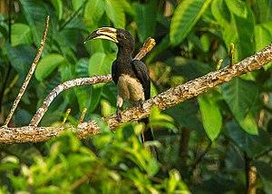 African pied hornbill - Image: African Pied Hornbill Kakum NP Ghana 14 S4E2286 (16177823316) cropped