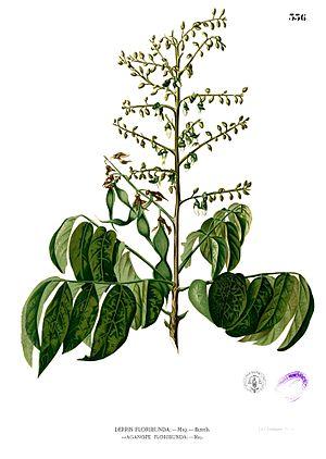 Aganope - Aganope thyrsiflora